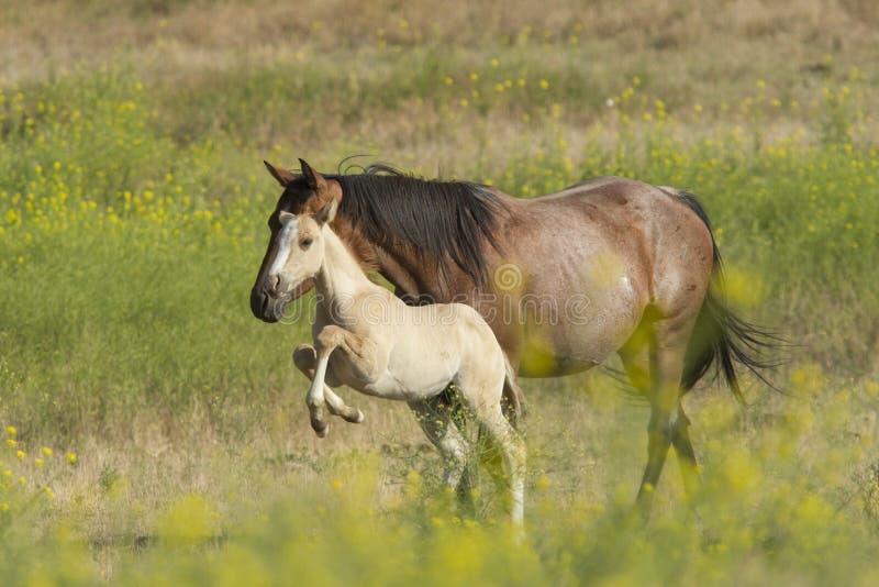 灿烂的小的马驹 免版税图库摄影