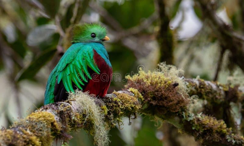 灿烂的格查尔在哥斯达黎加 库存图片