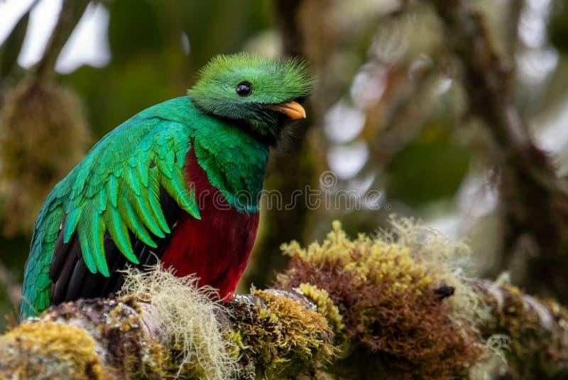 灿烂的格查尔在哥斯达黎加 库存照片