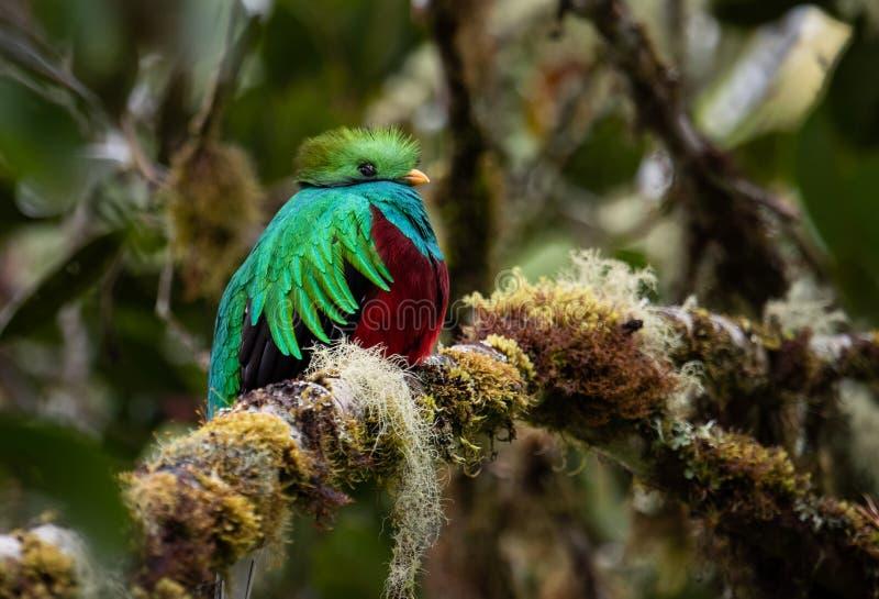 灿烂的格查尔在哥斯达黎加 免版税库存图片