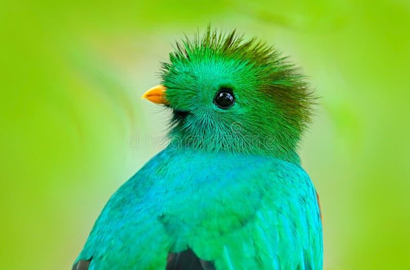 灿烂的格查尔, Pharomachrus mocinno,从有被弄脏的绿色森林前景和背景的危地马拉 壮观神圣 免版税库存照片