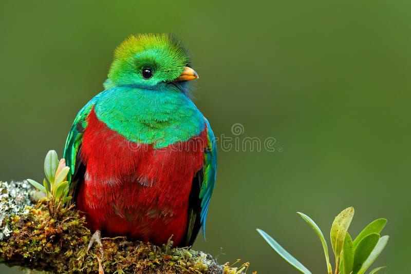 灿烂的格查尔, Pharomachrus mocinno,从Savegre在有被弄脏的绿色森林前景和背景的哥斯达黎加 Magnifi 免版税库存照片