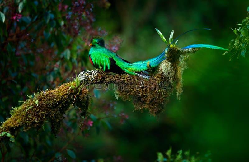 灿烂的格查尔, Pharomachrus mocinno,从Savegre的壮观的神圣的绿色鸟在巴拿马 在山tro的罕见的不可思议的动物 免版税库存照片