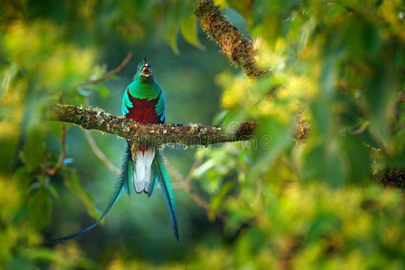灿烂的格查尔, Savegre在有绿色森林的哥斯达黎加在背景中 壮观的神圣的绿色和红色鸟 细节画象 免版税图库摄影