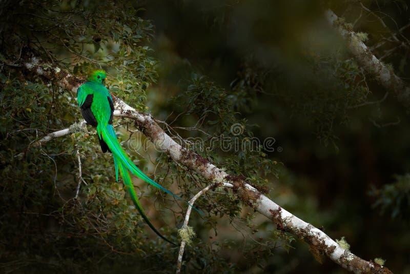 灿烂的格查尔, Savegre在有绿色森林的哥斯达黎加在背景中 壮观的神圣的绿色和红色鸟 细节画象 免版税库存照片