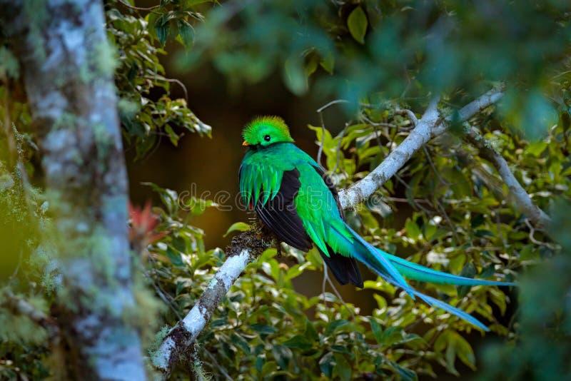 灿烂的格查尔, Tapanti NP在哥斯达黎加,有绿色森林的在背景中 壮观的神圣的绿色和红色鸟 细节口岸 免版税库存照片