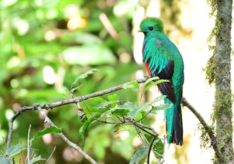 灿烂的格查尔Pharomachrus mocinno最美丽的鸟在中美洲 库存图片