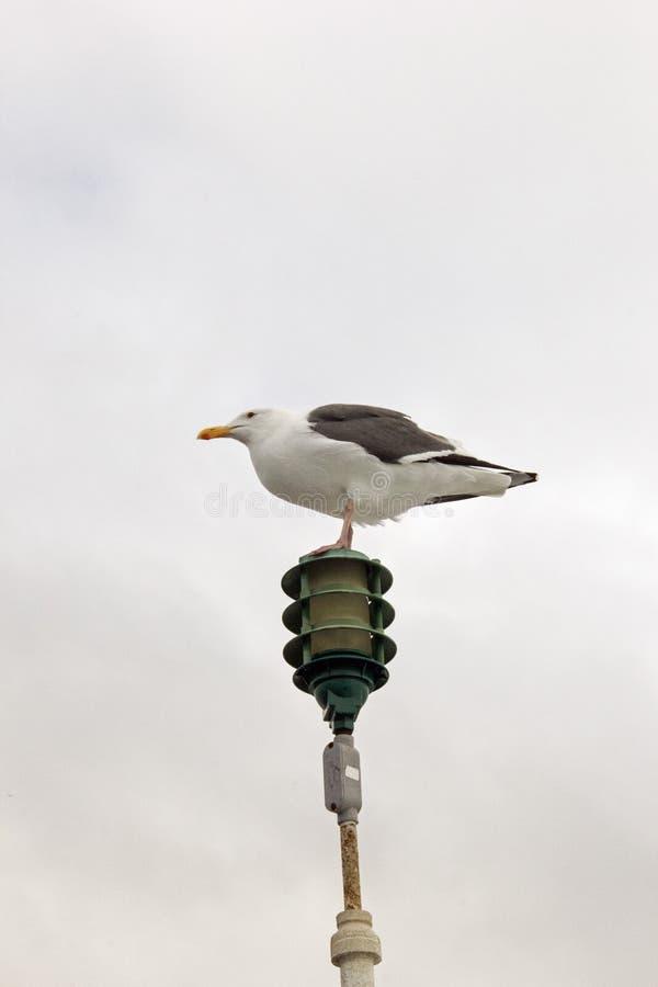 炫耀从冲浪者海滩码头的海鸥 库存照片