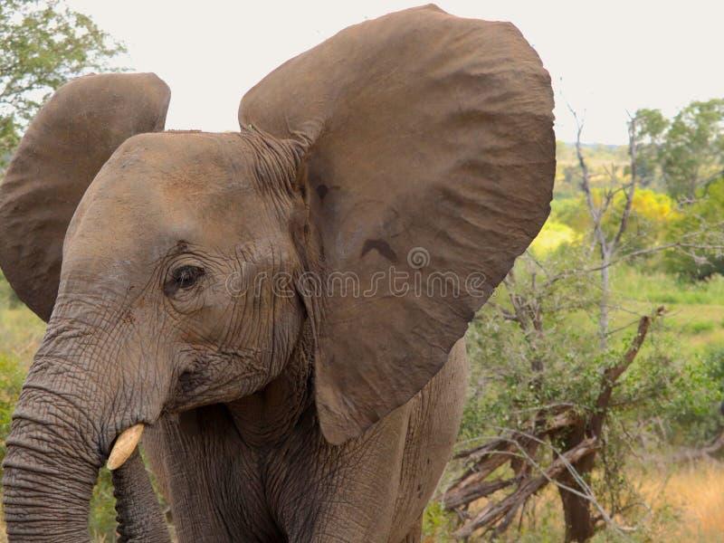 炫耀它的巨型耳朵的婴孩大象在克鲁格徒步旅行队 库存图片