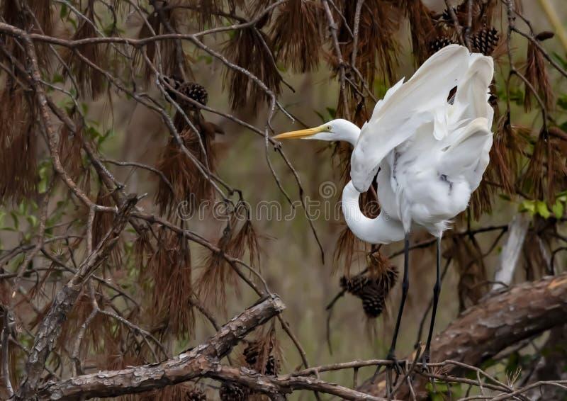 炫耀它的被翻动的白色全身羽毛的伟大的白色白鹭 免版税库存照片