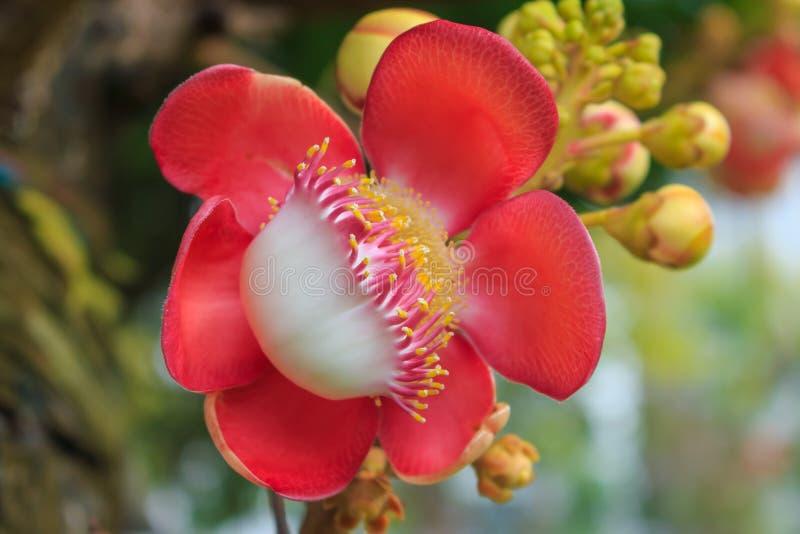 炮弹树花(Couroupita guianensis)在绿色backgr 库存照片