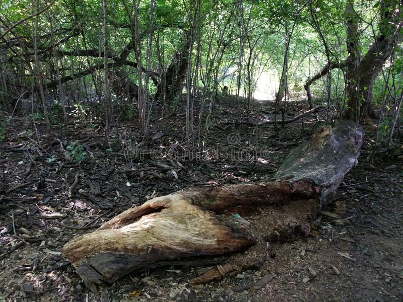 烂掉树干在森林 免版税库存图片