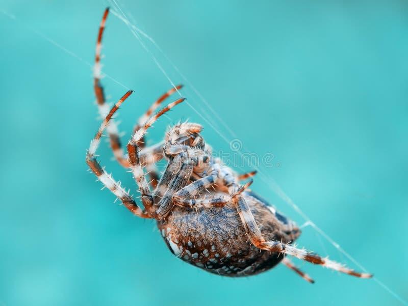 烈士蜘蛛 库存照片