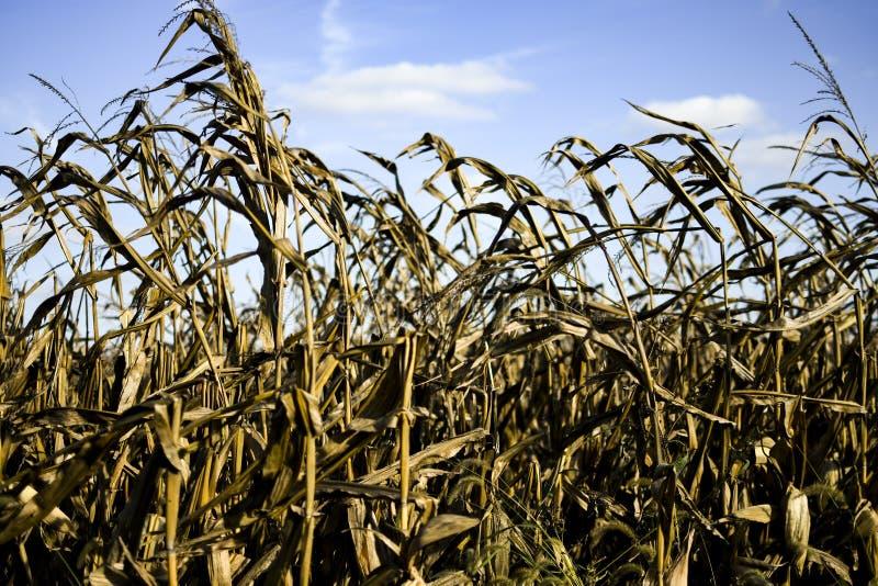 烘干与蓝天的麦地 免版税库存照片