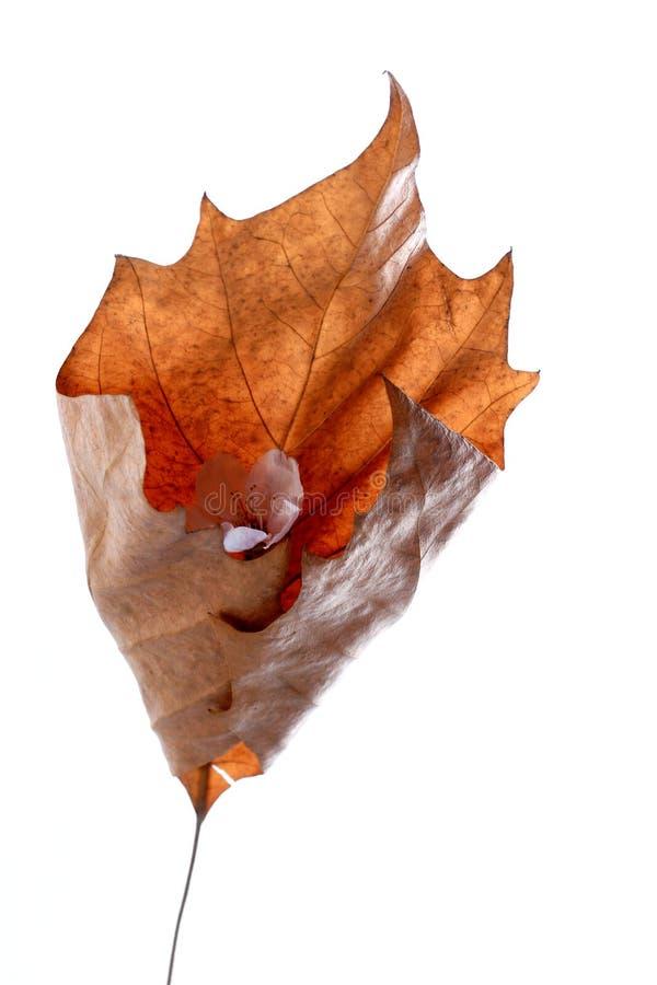 烘干叶子槭树 免版税库存图片