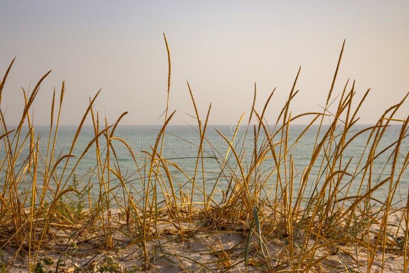 烘干在沙丘的黄色草反对风平浪静 海边背景 在沙子海滩的高芦苇 在日落的海景 免版税库存图片