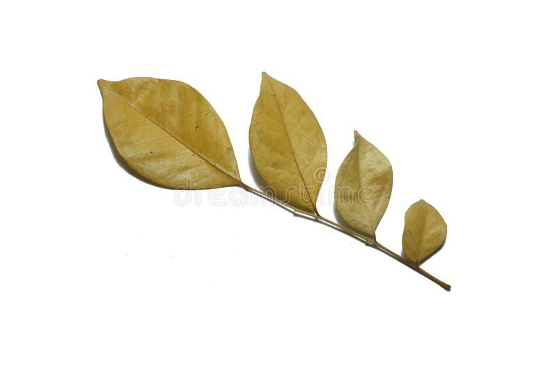 烘干在白色背景隔绝的叶子 库存照片