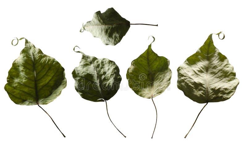 烘干在隔绝的叶子 免版税库存图片
