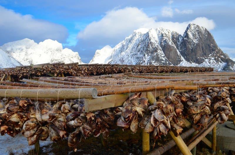 烘干在Lofoten海岛上的干鱼,挪威 免版税库存图片