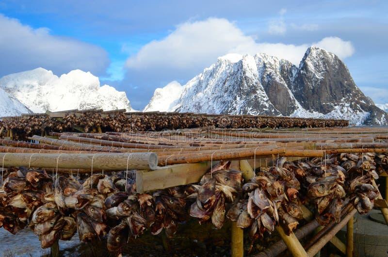 烘干在Lofoten海岛上的干鱼,挪威 库存图片