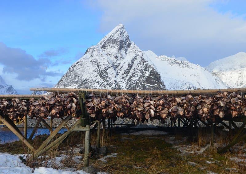 烘干在Lofoten海岛上的干鱼,挪威 库存照片
