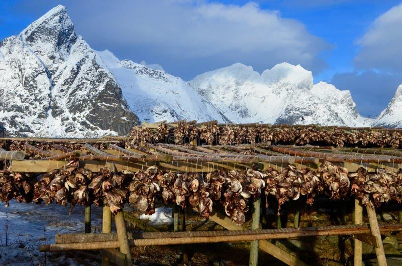 烘干在Lofoten海岛上的干鱼,挪威 免版税库存照片