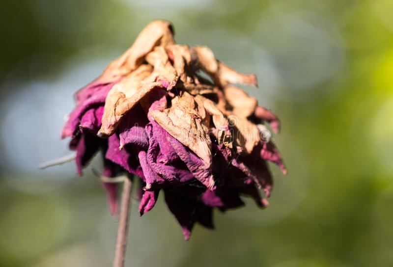 烘干玫瑰色在自然 免版税库存图片