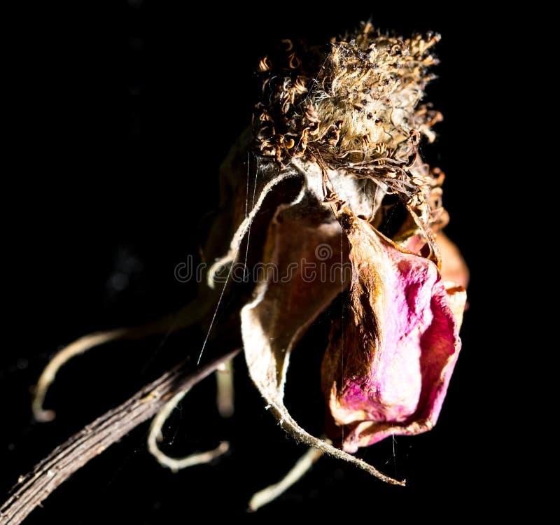 烘干玫瑰色在自然 图库摄影
