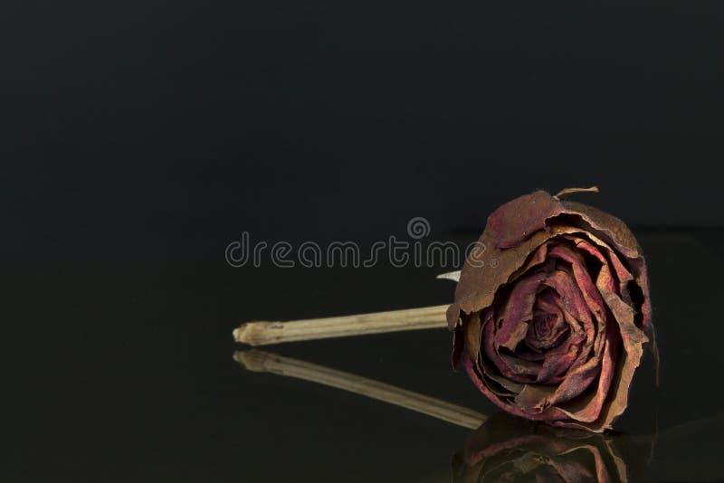 烘干玫瑰色 库存照片