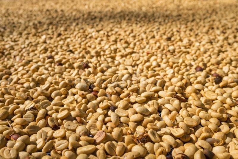 烘干的咖啡豆在阳光下 库存图片