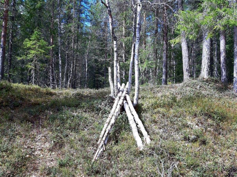 烘干的夏天桦树为黄蘑菇 免版税图库摄影