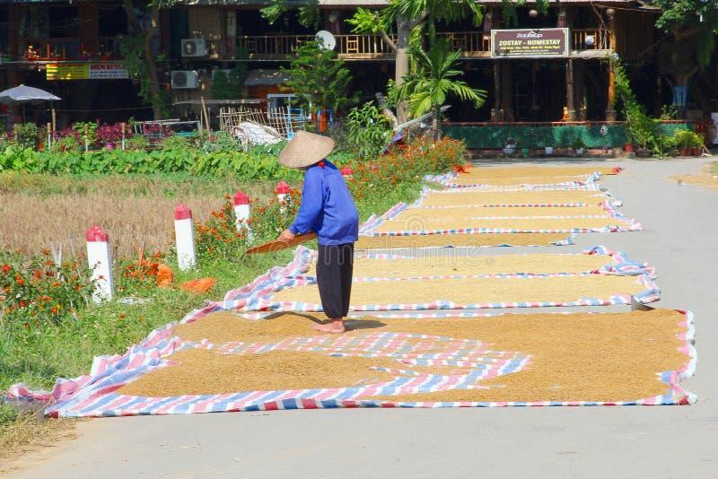 烘干米的女性农夫谷物丰收阳光,紫胶村庄,越南 库存照片