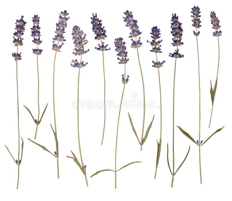 烘干被按的淡紫色 免版税图库摄影