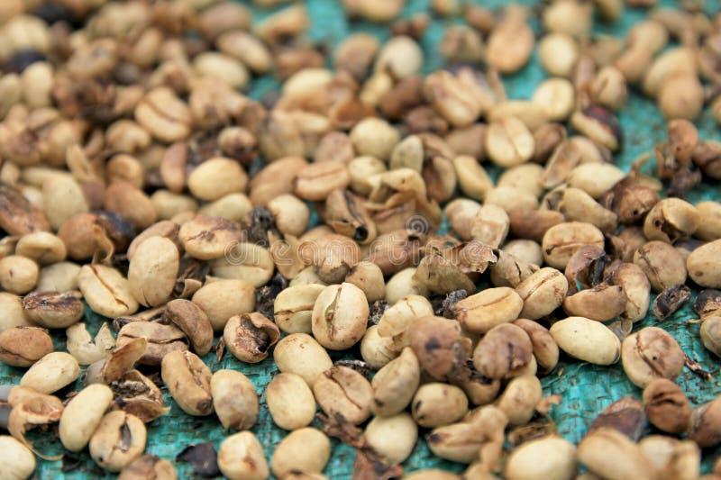 烘干,在El Jardin附近的咖啡豆,安蒂奥基亚省,哥伦比亚 免版税库存照片