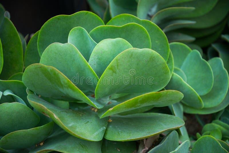 烙饼仙人掌桨植物绿色叶子 免版税库存照片