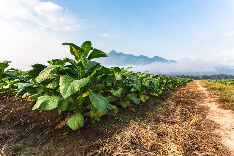 烟草农场在路附近的早晨 免版税库存照片