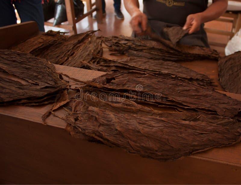 烟草制造过程选择好叶子在一家工厂在墨西哥城 免版税库存照片