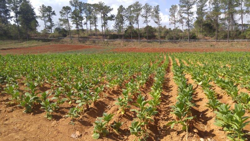 烟草叶子在古巴 免版税图库摄影