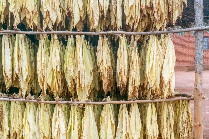 烟草叶子在马拉维 库存图片