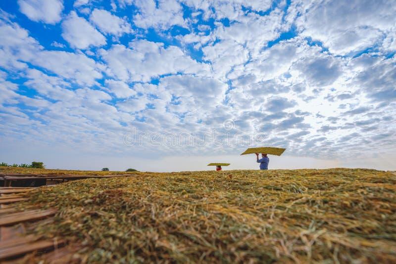 烟草叶子由农夫收获 库存图片