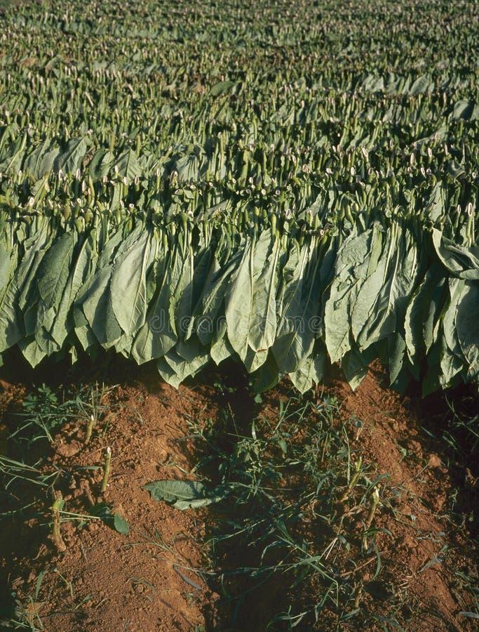 烟草在古巴留下干燥 库存照片