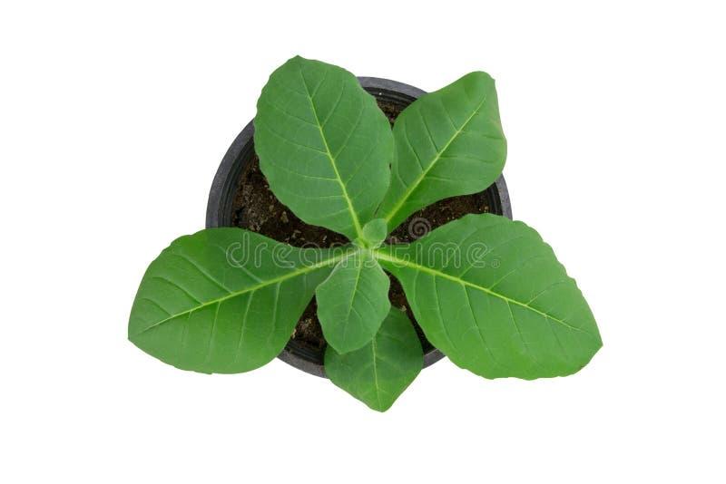 烟草在白色背景的年幼植物孤立。 库存图片