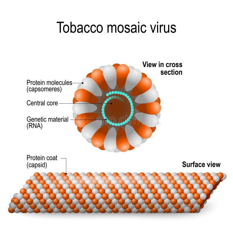 烟草斑纹病毒 向量例证