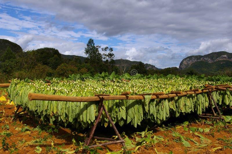 烟草生叶烘干在Vinales。 库存照片