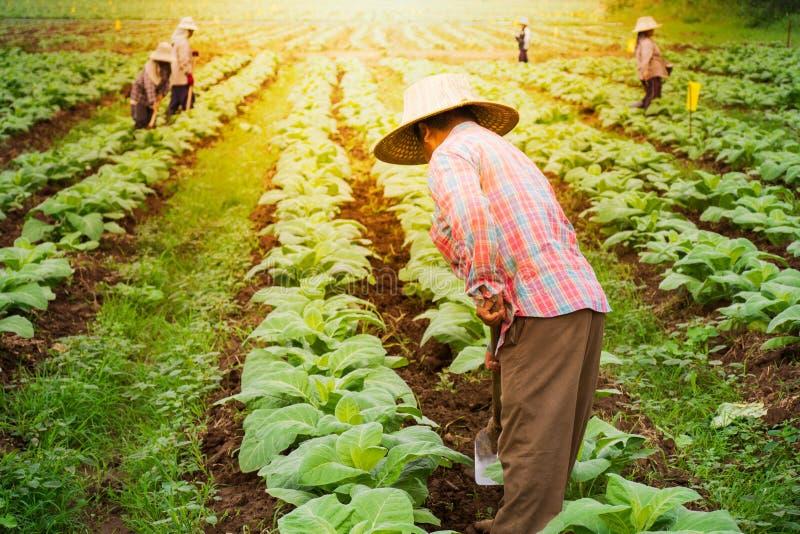 烟草田的农夫 图库摄影