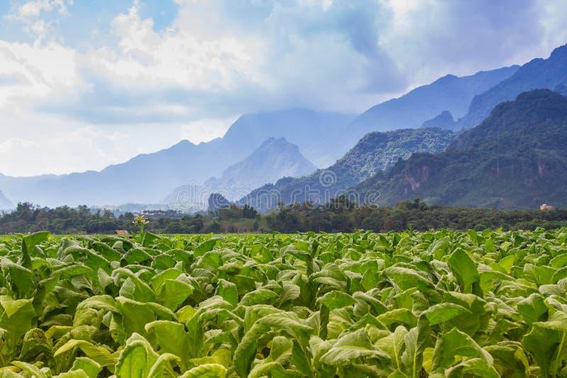 烟草田种植园在蓝天下 库存照片