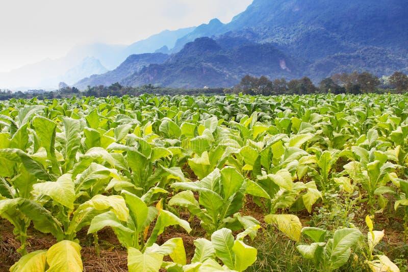 烟草田种植园在蓝天下 免版税库存图片