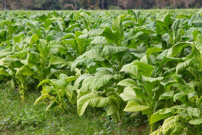 烟草田种植园 库存图片