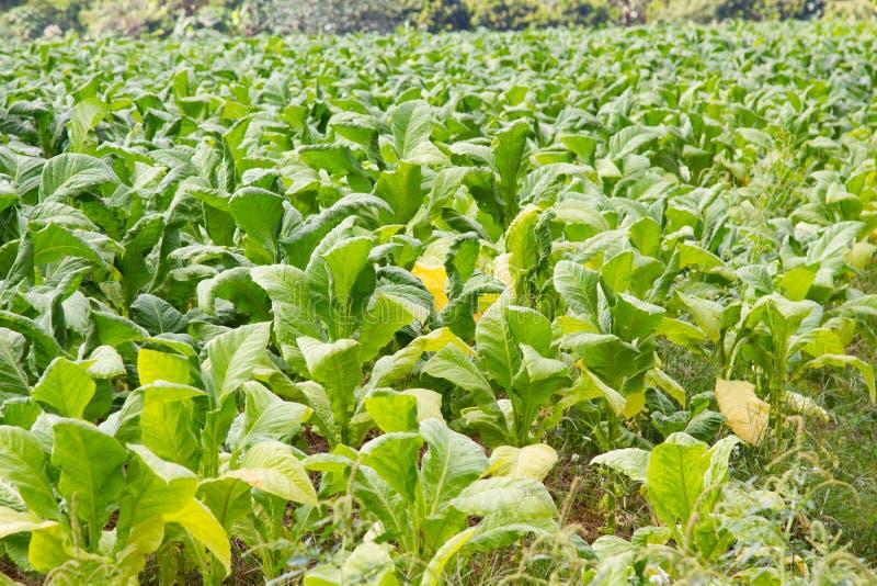 烟草田种植园 免版税库存图片