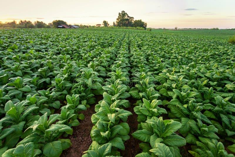烟草田,烟草大叶子作物栽培在烟草种植园领域 库存图片